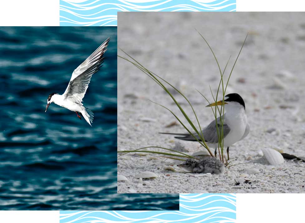 Least Terns at Rookery Bay Research Reserve | National Estuarine Research Reserve