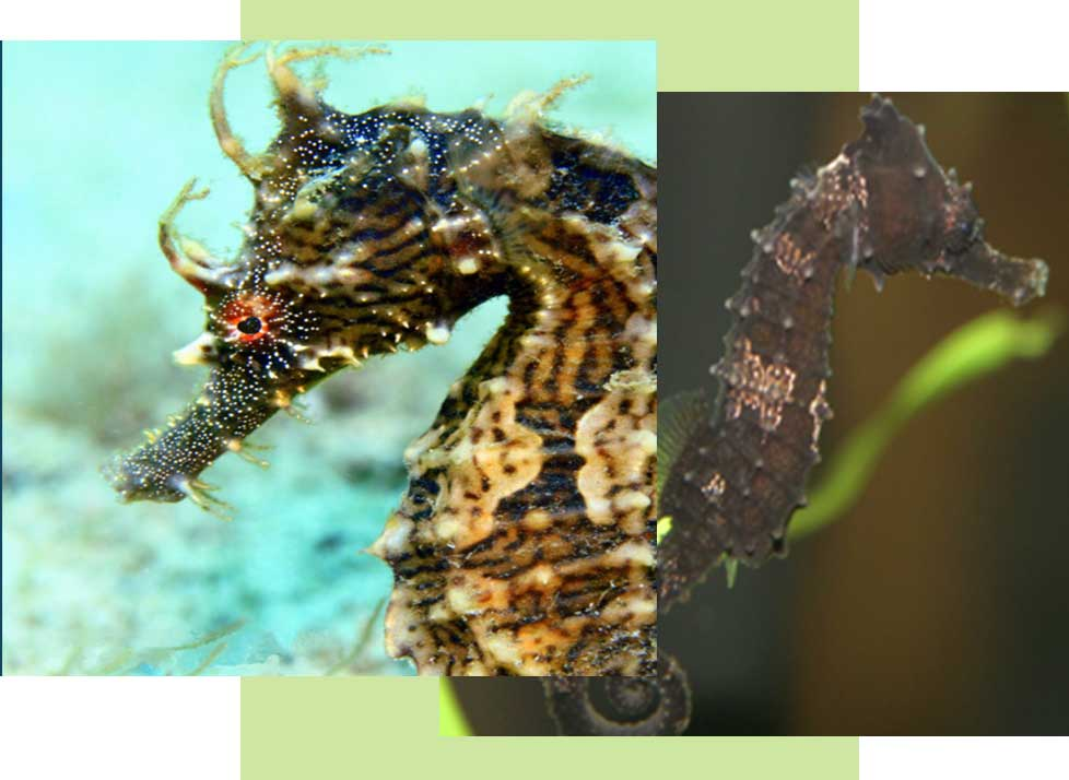 Lined Sea Horse Wildlife in Naples | Rookery Bay Research Reserve