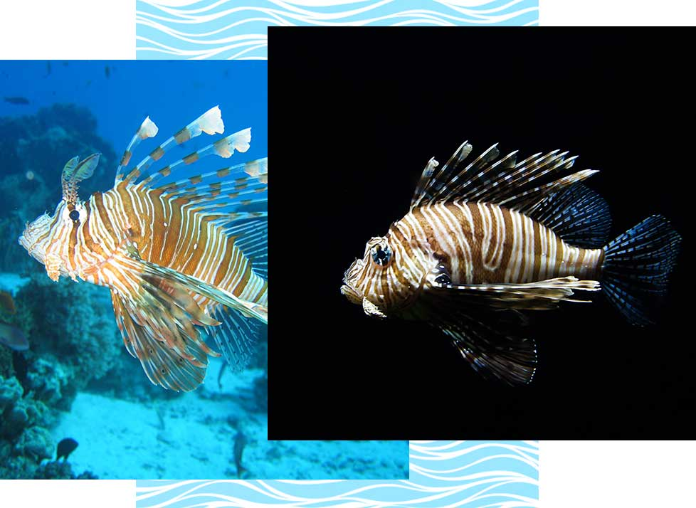 Lionfish Wildlife in Naples | Rookery Bay Research Reserve