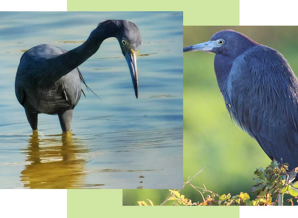 Little Blue Herons at Rookery Bay Research Reserve | National Estuarine Research Reserve