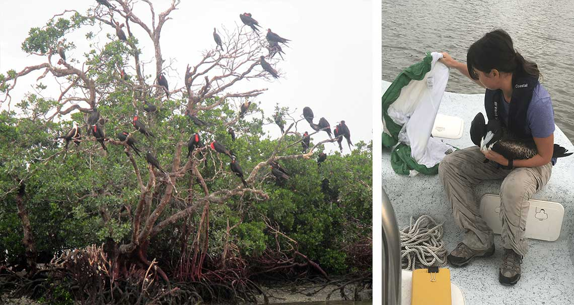 Magnificent Frigatebird in Naples | Rookery Bay Research Reserve