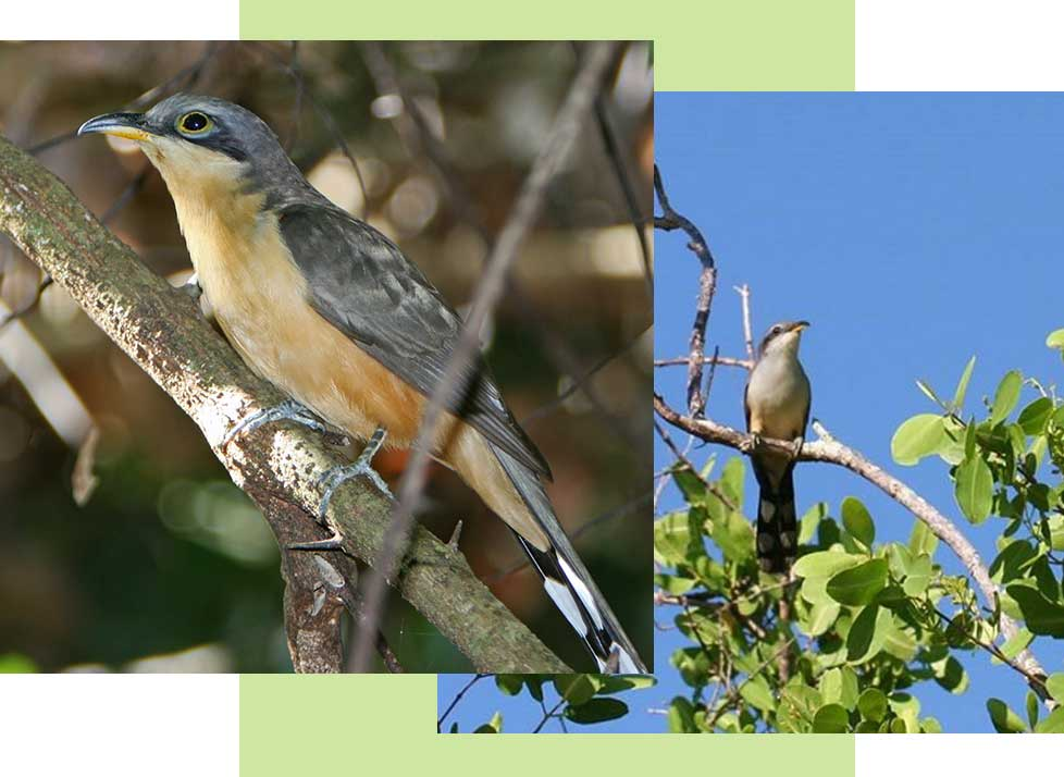 Mangrove Cuckoos at Rookery Bay Research Reserve | National Estuarine Research Reserve