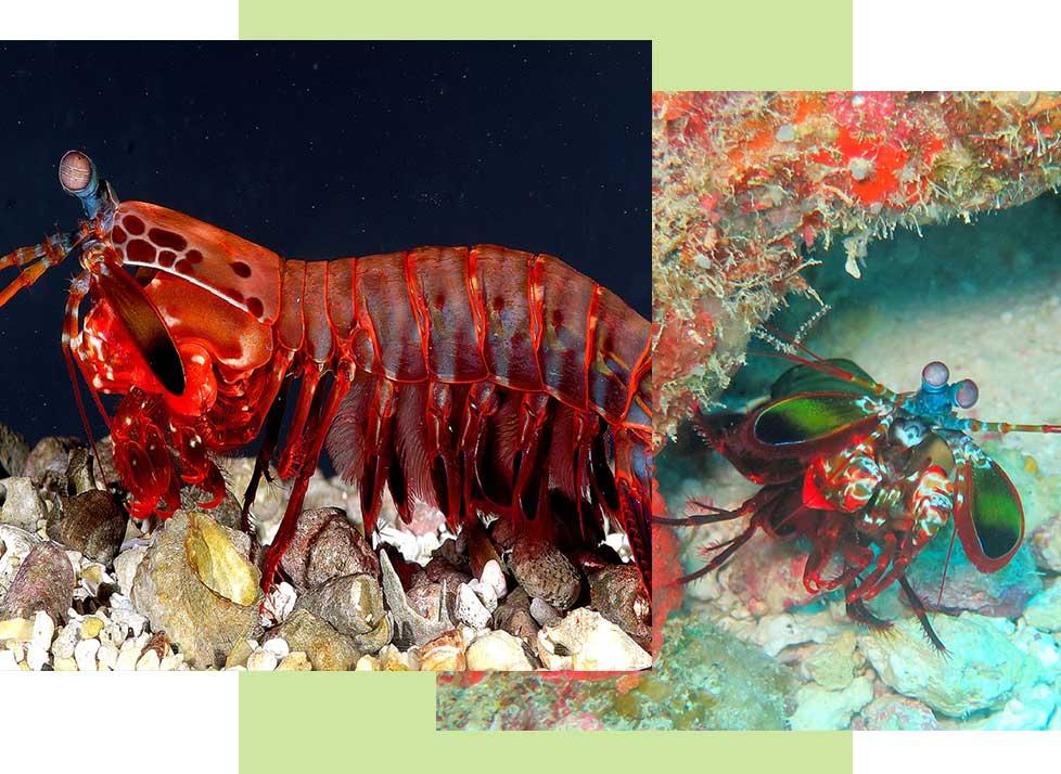 Mantis Shrimp at Rookery Bay Research Reserve | National Estuarine Research Reserve