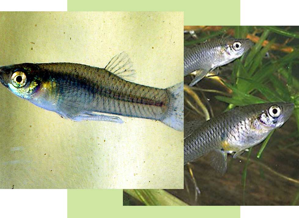 Mosquito Fish Wildlife in Naples | Rookery Bay Research Reserve