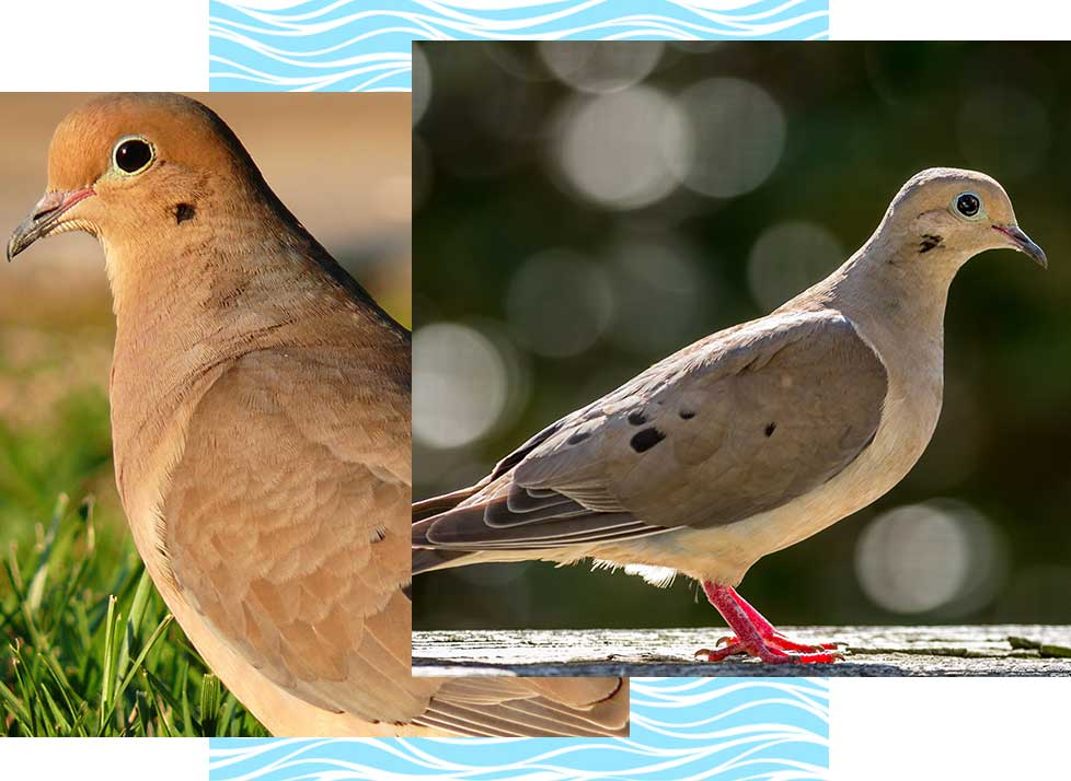 Mourning Doves at Rookery Bay Research Reserve | National Estuarine Research Reserve