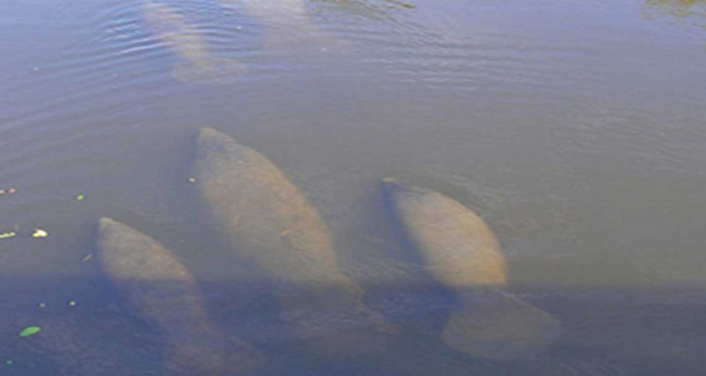 Encounter with a Manatee in Naples | Rookery Bay Research Reserve