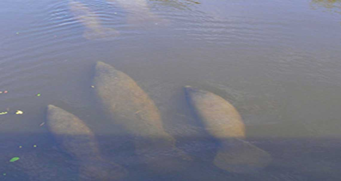Encounter with a Manatee in Naples   Rookery Bay Research Reserve