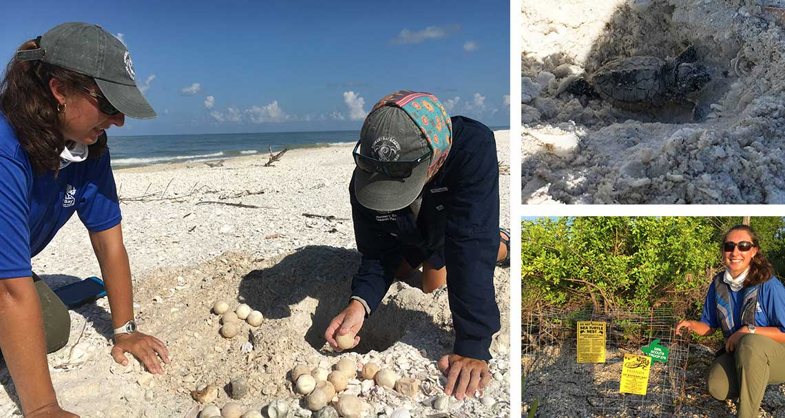 Sea Turtle | Hatchling Season | Rookery Bay Research Reserve