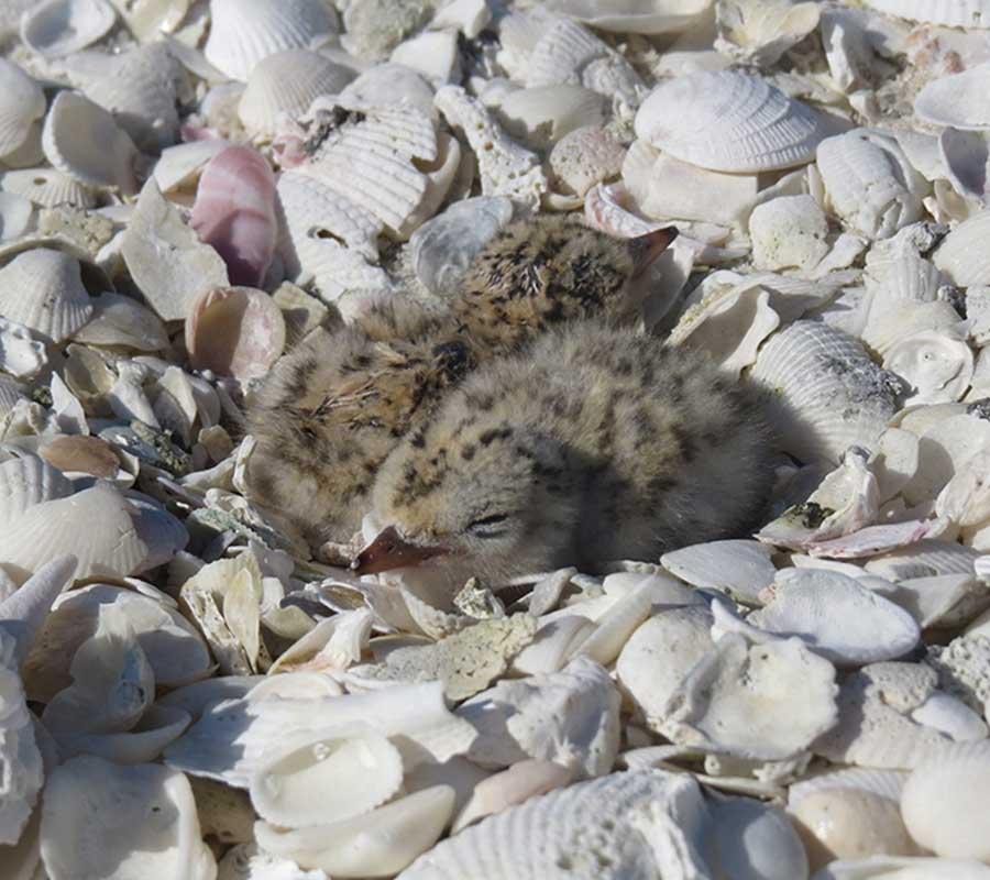 Closure Second Chance Sandbar | Beach Nesting Birds | Rookery Bay Research Reserve