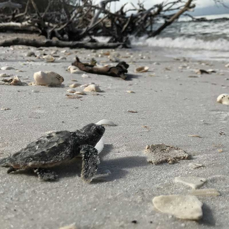 Sea Turtle on Beach | Rookery Bay Research Reserve