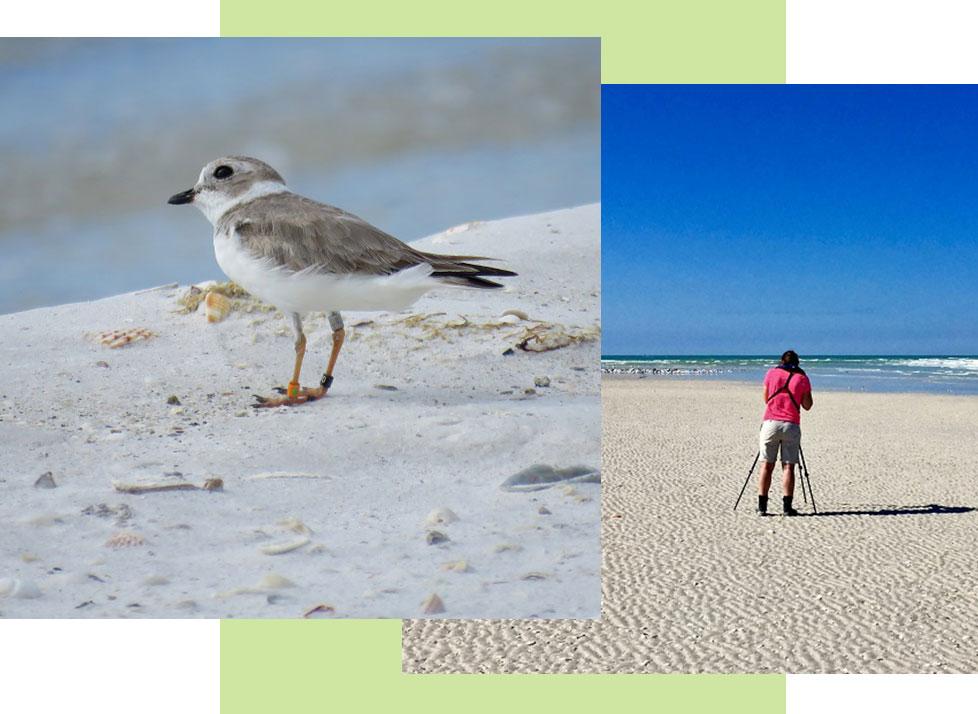 Non-breeding Shorebirds | Rookery Bay Research Reserve