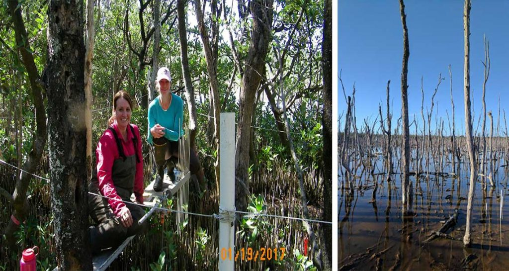 Ongoing Mangrove Restoration in Naples | Rookery Bay Research Reserve