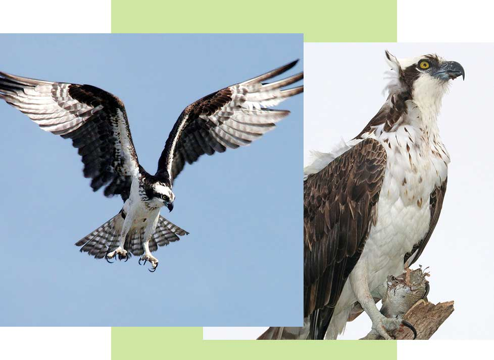 Ospreys at Rookery Bay Research Reserve | National Estuarine Research Reserve