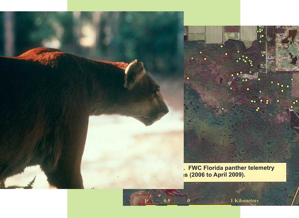 Florida Panther Range | Rookery Bay Research Reserve