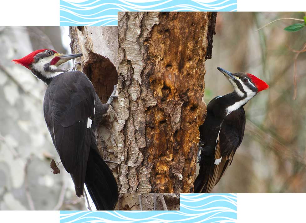Pileated Woodpeckers at Rookery Bay Research Reserve | National Estuarine Research Reserve
