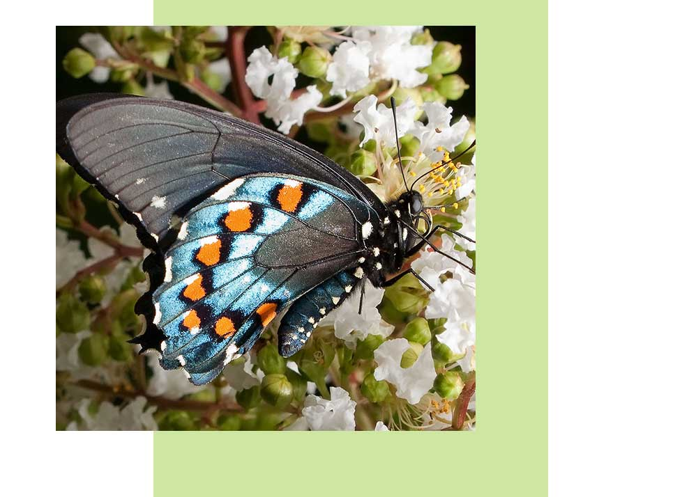 Pipevine Swallowtail Wildlife in Naples | Rookery Bay Research Reserve