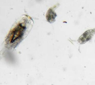 Wildlife at Rookery Bay Research Reserve: Plankton | National Estuarine Reserve