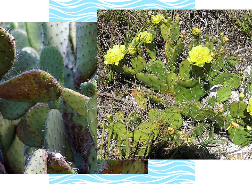 Prickly Pear Wildlife in Naples | Rookery Bay Research Reserve