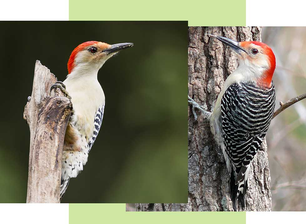 Red Bellied Woodpeckers at Rookery Bay Research Reserve | National Estuarine Research Reserve
