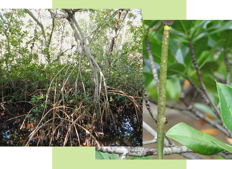 Red Mangrove Wildlife in Naples | Rookery bay Research Reserve