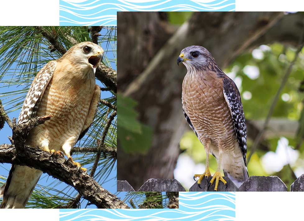 Red Shouldered Hawks at Rookery Bay Research Reserve | National Estuarine Research Reserve