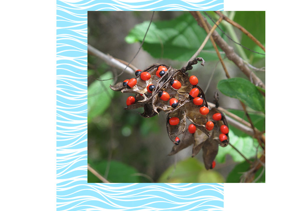 Rosary Pea Plants in Naples | Rookery Bay Research Reserve