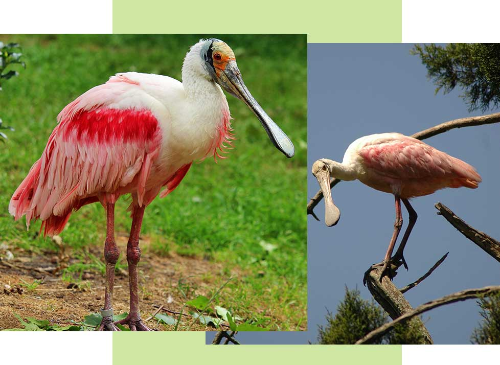 Roseate Spoonbills at Rookery Bay Research Reserve | National Estuarine Research Reserve