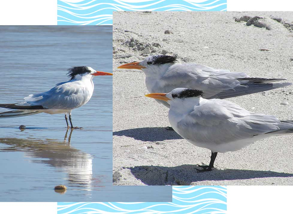 Royal Terns at Rookery Bay Research Reserve | National Estuarine Research Reserve