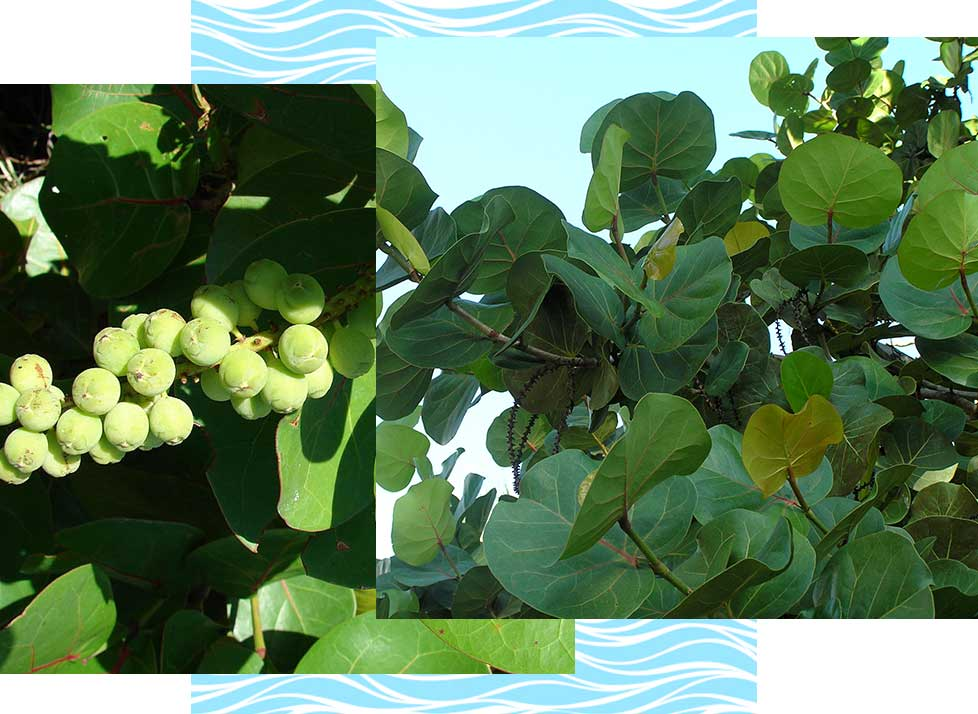 Sea Grape Wildlife in Naples | Rookery Bay Research Reserve