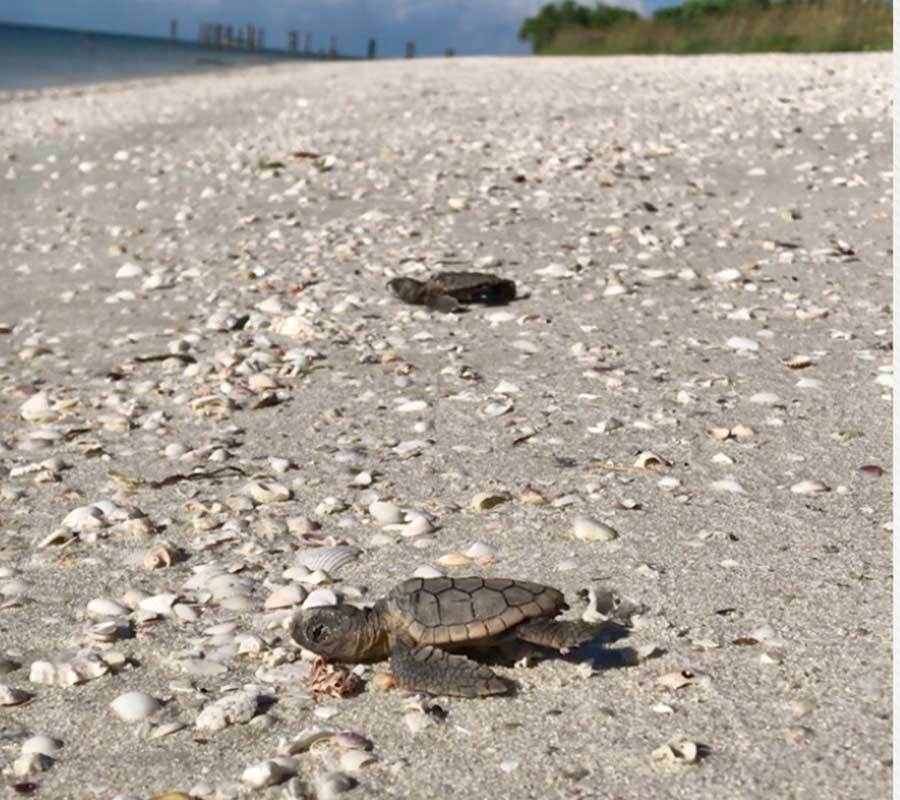 Sea Turtle Hatchling in Naples | Rookery Bay Research Reserve