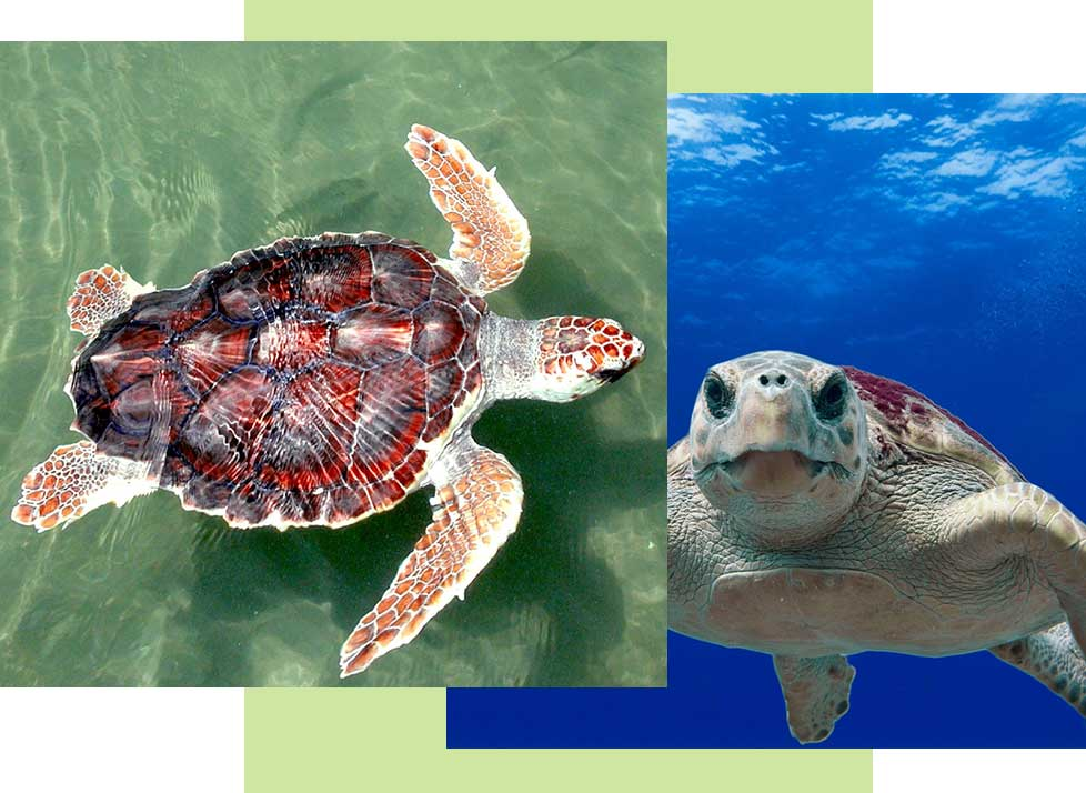 Sea Turtles at Rookery Bay Research Reserve | National Estuarine Research Reserve