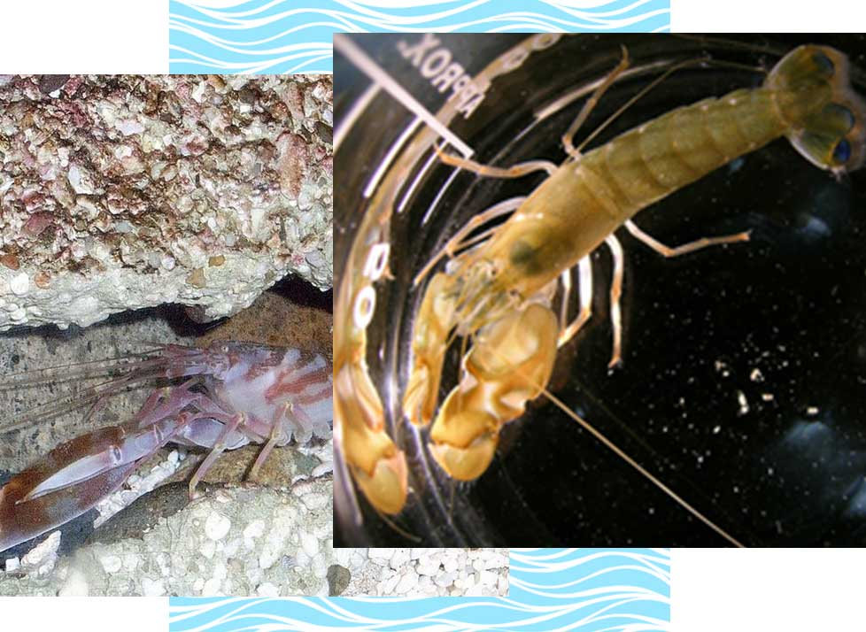 Common Snapping Shrimp Wildlife in Naples | Rookery Bay Research Reserve