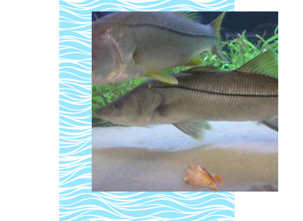 Snook Wildlife in Naples | Rookery Bay Research Reserve