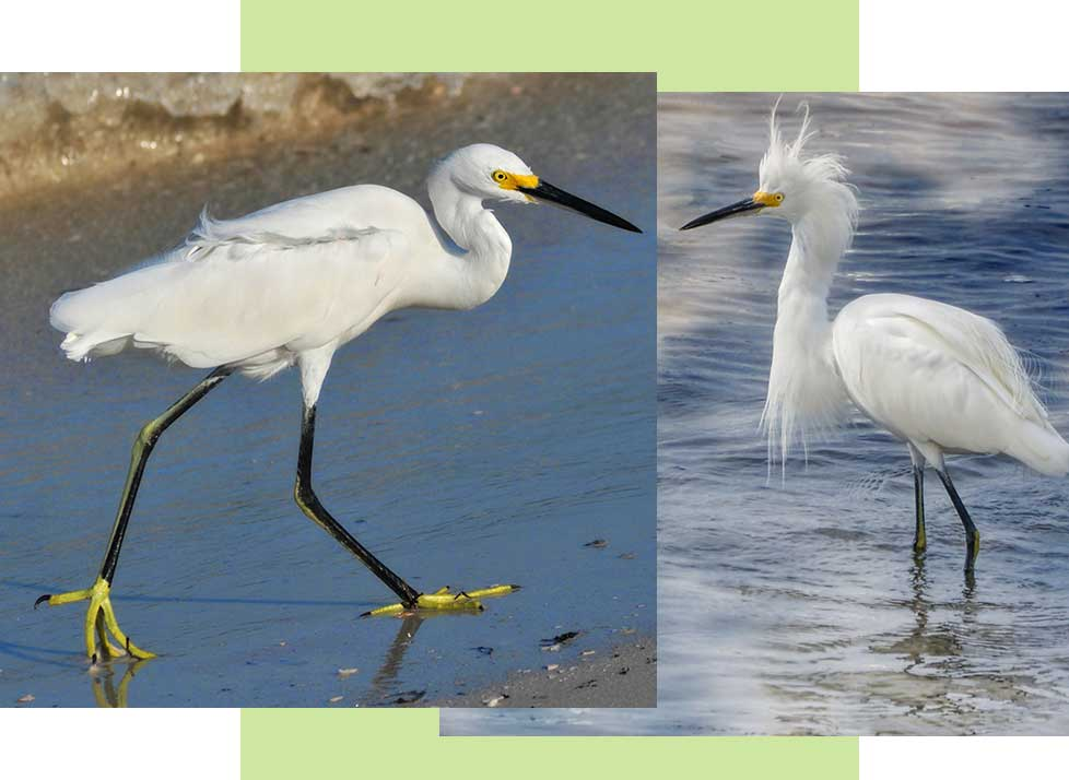Snowy Egrets at Rookery Bay Research Reserve | National Estuarine Research Reserve