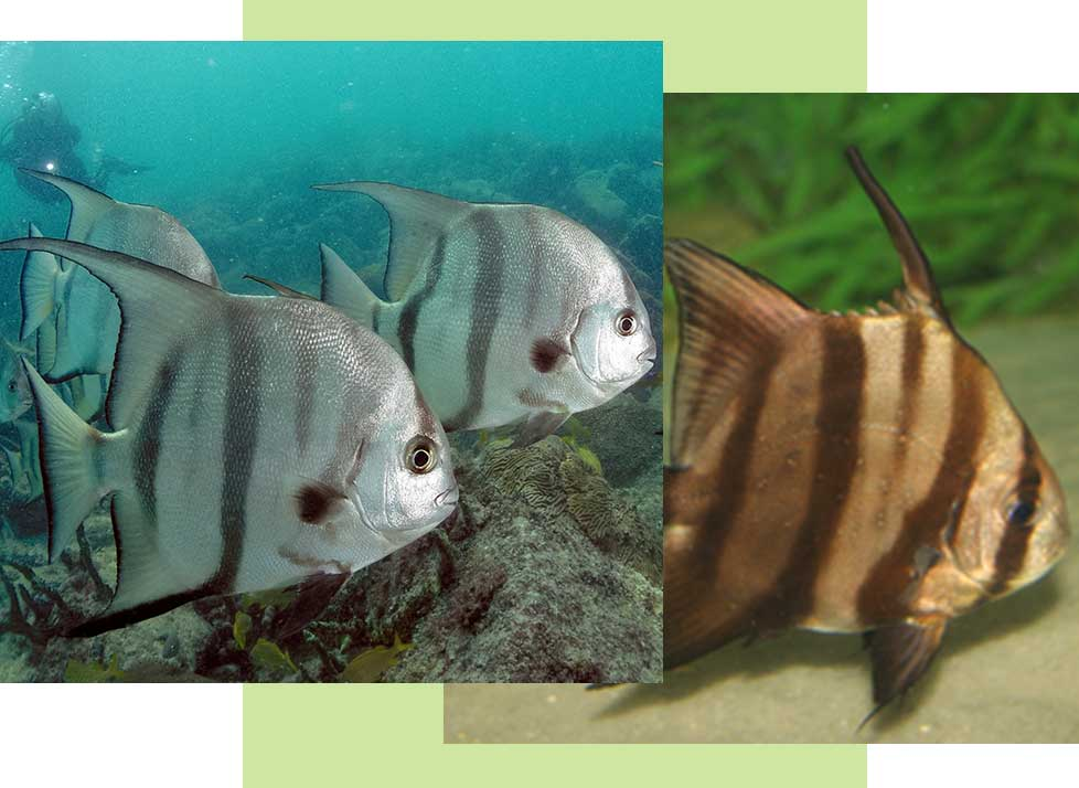 Spadefish Wildlife in Naples | Rookery Bay Research Reserve