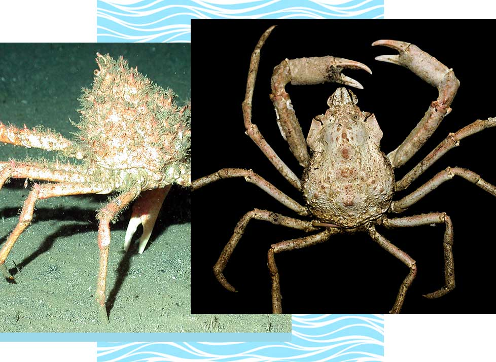 Spider Crabs at Rookery Bay Research Reserve | National Estuarine Research Reserve