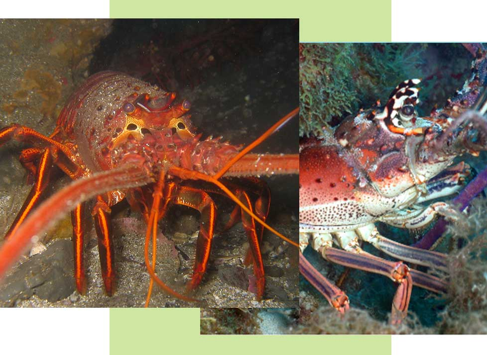 Spiny Lobsters at Rookery Bay Research Reserve | National Estuarine Research Reserve
