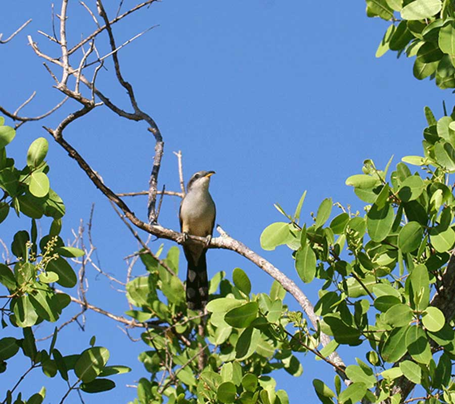 The Elusive Mangrove Cuckoo | Rookery Bay Research Reserve