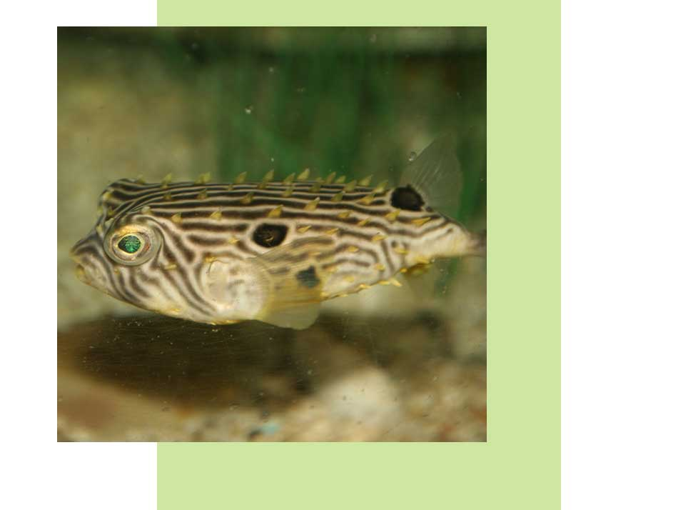 Striped Burrfish Wildlife in Naples | Rookery Bay Research Reserve