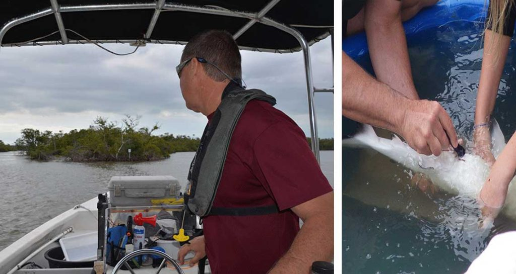 Studying Sharks in Naples | Rookery Bay Research Reserve