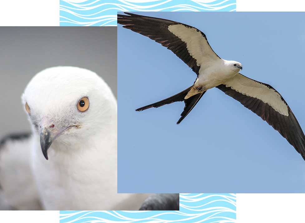 Sallow-Tailed Kites at Rookery Bay Research Reserve | National Estuarine Research Reserve