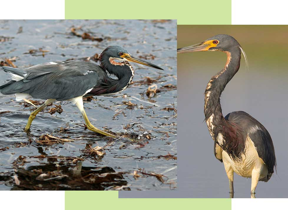 Tricolored Herons at Rookery Bay Research Reserve | National Estuarine Research Reserve