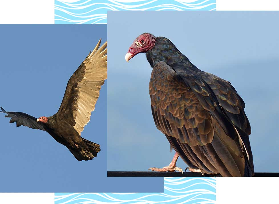 Turkey Vultures at Rookery Bay Research Reserve | National Estuarine Research Reserve