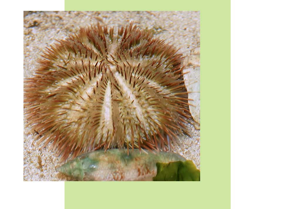 Verigated Urchin Wildlife in Naples | Rookery Bay Research Reserve