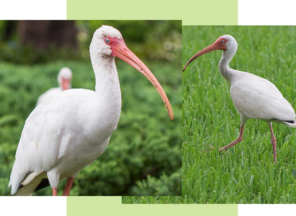 White Ibis at Rookery Bay Research Reserve | National Estuarine Research Reserve