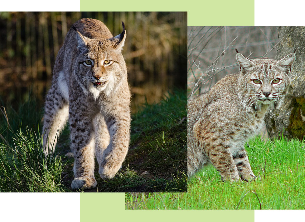 Mammals at Rookery Bay: Bobcats | National Estuarine Research Reserve