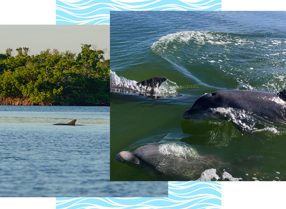 Rookery Bay Wildlife: Dolphins | National Estuarine Research Reserve