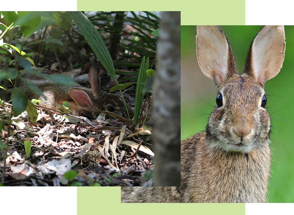 Wildlife at Rookery Bay Research Reserve: Eastern Cottontail Rabbit | National Estuarine Research Reserve