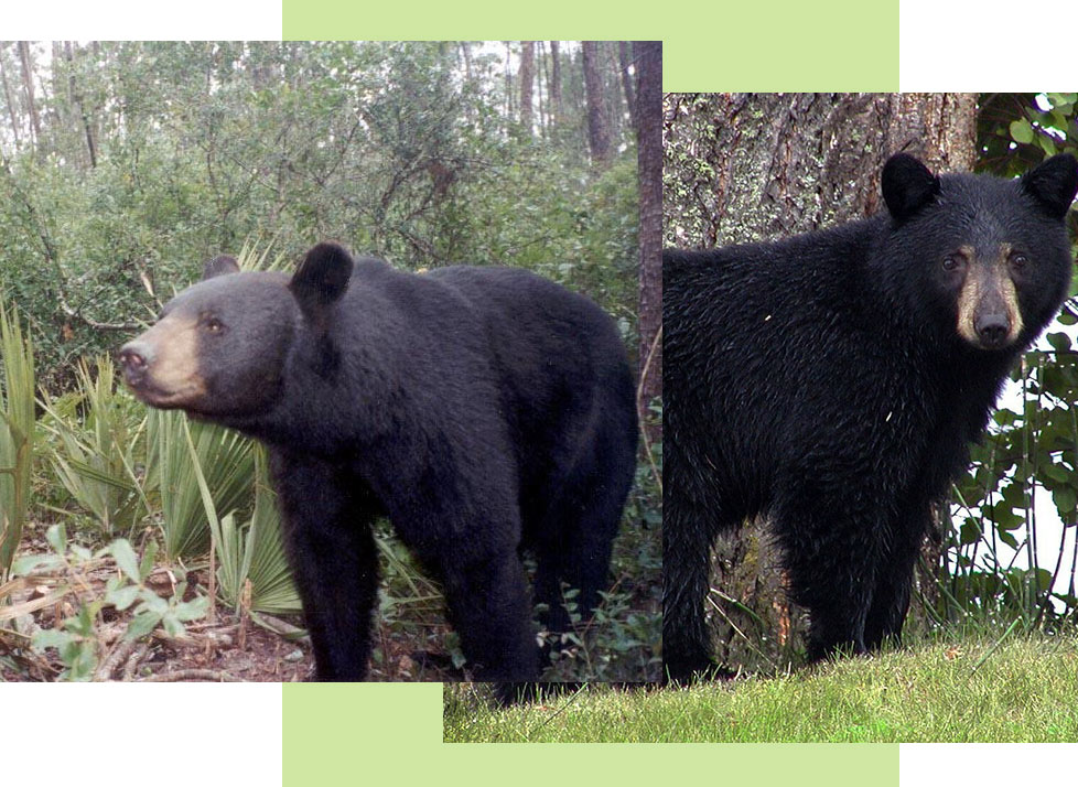 Mammals at Rookery Bay: Black Bears | National Estuarine Research Reserve