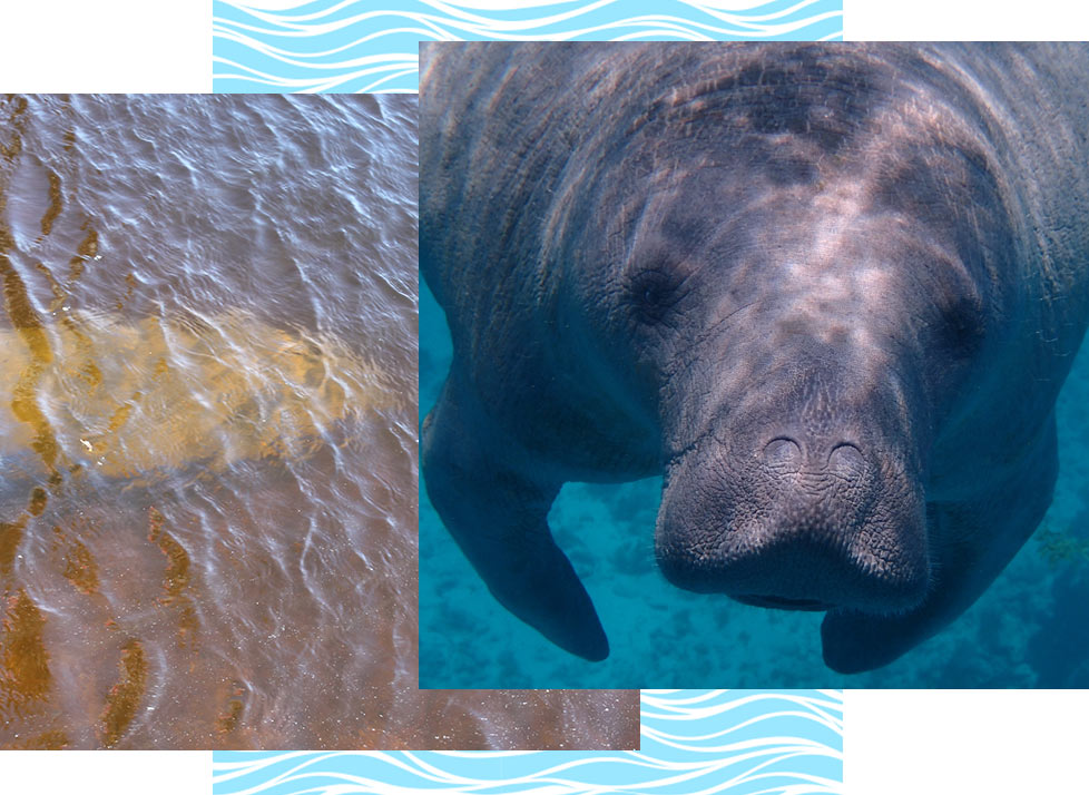 Rookery Bay Wildlife: Manatees | National Estuarine Research Reserve